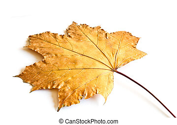 maple fall leaf over white background