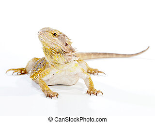 Bearded Dragon Lizard - A small mandarin colored Bearded...