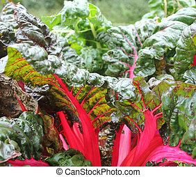 swiss chard - red swiss chard growing in the garden