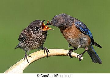 Female Eastern Bluebird Feeding A Baby - Female Eastern...