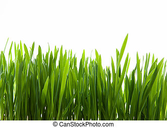 art green grass on white background - growth of young green...