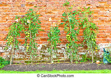 Tomato plants growing in an allotment against a brick wall