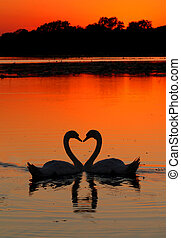 swans heart sunset - two swans in the shape of a heart at...