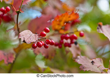 arrowwood with ripe berries - Branch of a arrowwood with...