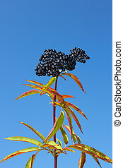Herbaceous elder berries - One-year herbaceous elder top...