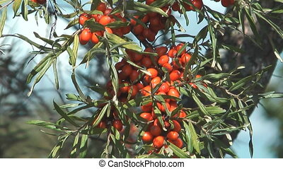 Sea buckthorn.