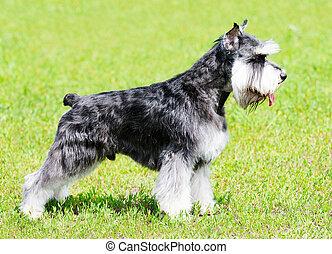 Zwergschnauzer dog standing on green grass