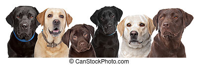 six Labrador dogs in a row - six portraits of Labrador dogs...