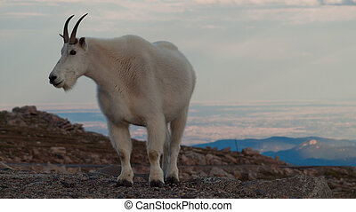 Mountian Goat with Kid - Mountian goat with kid on top of...