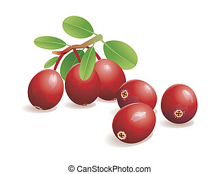 Cranberry Fruit - Realistic vector illustration of fresh...