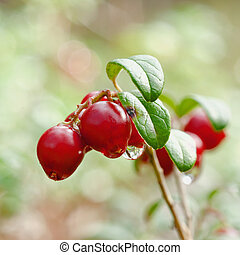 Cowberry. A cowberry on a green vegetative background in...