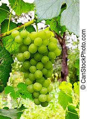 Bunch grapes - Bunch of green grapes with leaves