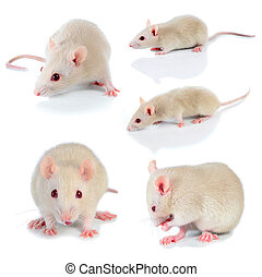 white mouse - mouse isolated on white background