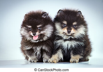 Pomeranian puppies - Two little fluffy Pomeranian puppies on...