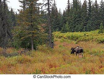 Alaskan bull moose in fall - Alaskan bull moose with antlers...