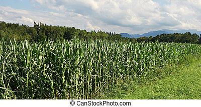 Fodder Corn - Plantation of Fodder Corn in Southern Bavaria,...