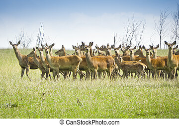 wild deer - An image of some nice wild deer