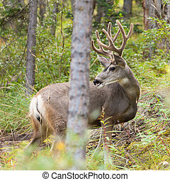 Beautiful mule deer buck with velvet antler