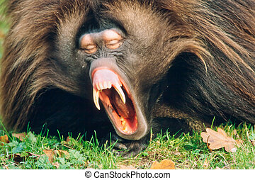 Male Gelada Baboon Monkey Yawning - Sleepy male gelada...