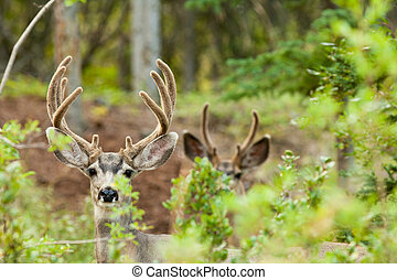 Two mule deer bucks with velvet antlers
