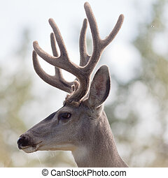 Profile of mule deer buck with velvet antler