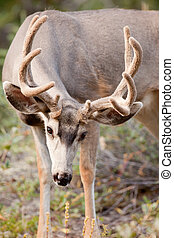 Mule deer buck with velvet antler grazing