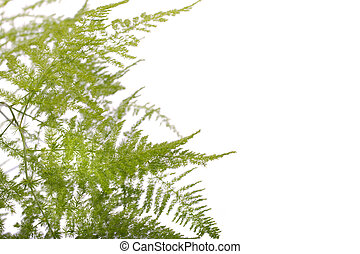 fern asparagus garden plant - Close up view a fern asparagus...