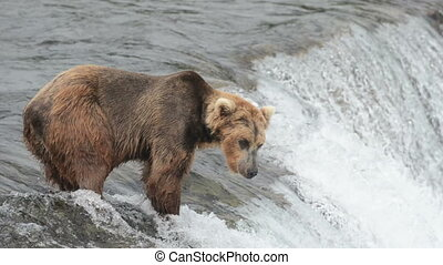 Alaskan Brown bear near a waterfall - A brown bear stands...