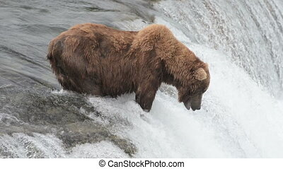 Bear fishing for salmon - An Alaskan brown bear waits for...