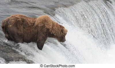Brown bear fishing for salmon - An Alaskan brown bear waits...