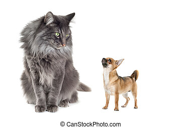 Norwegian Forest Cat and a Chihuahua dog in front of a white...