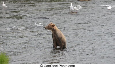 Bear fishing for salmon - A young Alaskan brown bear sits on...