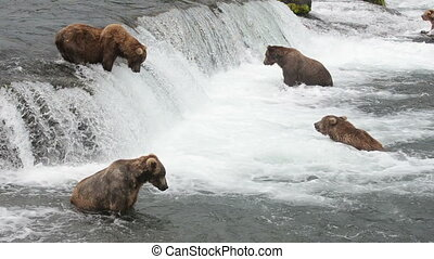 Brown bears fishing for salmon - Alaskan brown bears wait...