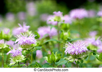 Bergamot mint flower - Purple bergamot mint flower in full...