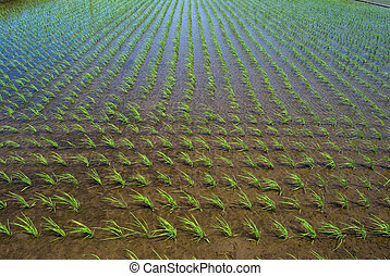 Paddy and the rice seedlings in Kanagawa Japan