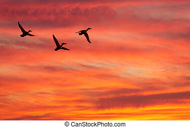 Three ducks fly against decline - Three flying ducks against...