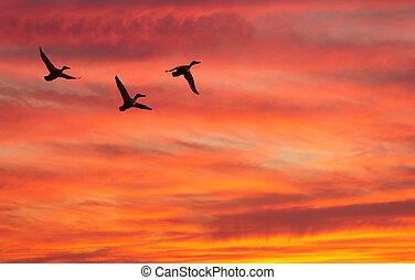 Three ducks fly against decline - Three flying ducks against...