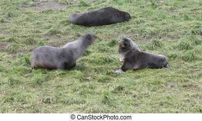 fighting of northern sea bear (Callorhinus ursinus)