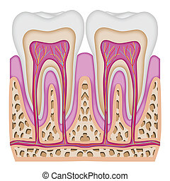 The intersection of the tooth - Illustration of the...