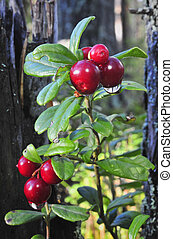 Cowberry with drops Red ripe cowberry with drops after...