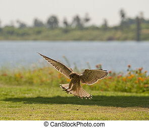 Common kestrel hunting - Female common kestrel hunting and...