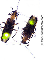 Fireflies, Destellar, -, relámpago, bichos