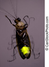 Firefly Flashing at Night - Lightning Bug