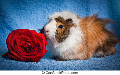 Abyssinian Guinea Pig with the rose
