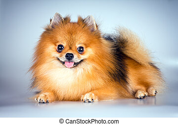 Pomeranian dog  on a light gray background