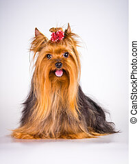 Yorkshire Terrier on a light gray background