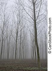 poplar plantation in fog, lombardy