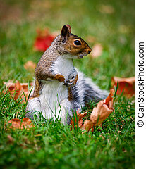 Close-up of a Common Brown Squirrel - Close-up image of a...
