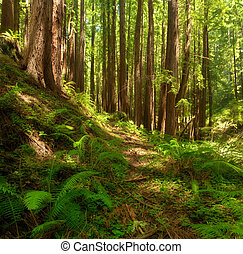 Dreamy California Redwoods - Dreamy scenic with California...