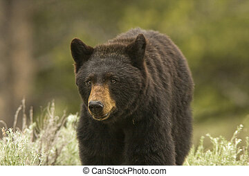 Close Black Bear - Black Bear (Ursus americanus) close to...